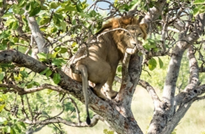 A Lion showing an usual behavior at maze