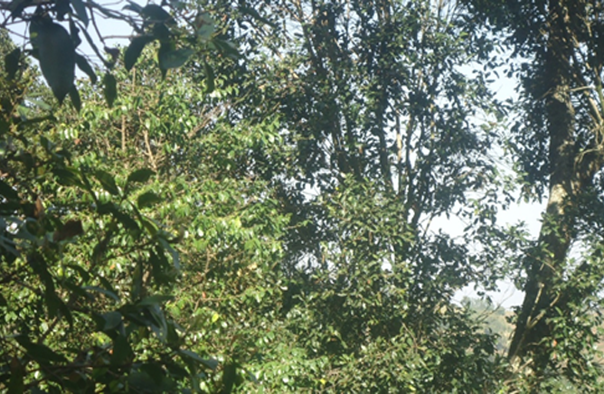 Agro-forestry of Gedeo - Under tentative list of  UNESCO(1)