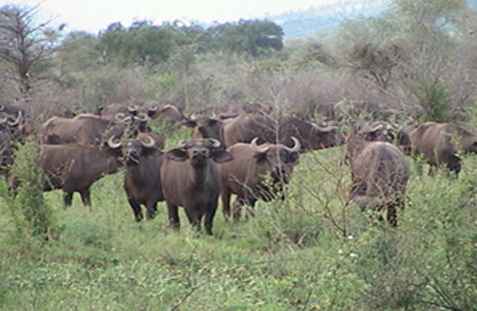 Group of Buffalos in Mago National Park