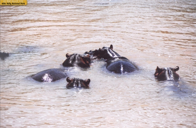 Group of Hippopotamus in the Ghibe River