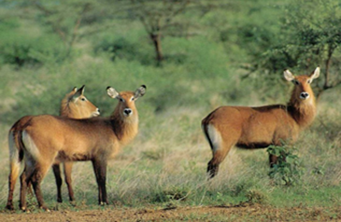 Group of Waterbucks in Mago National Park