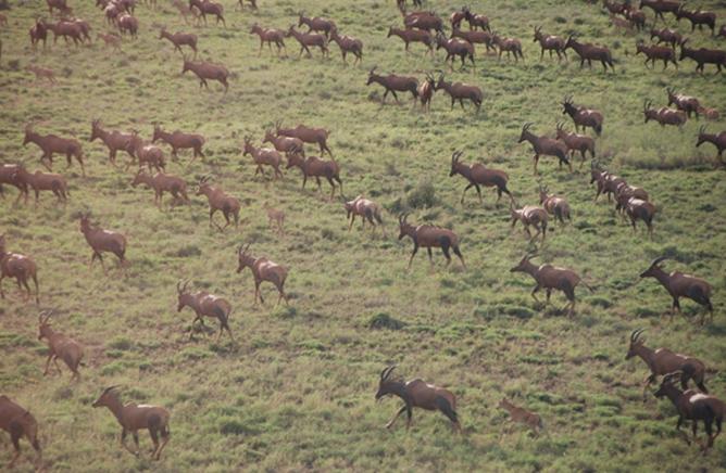 Herds of Topi (Tiang) at the Omo National Park