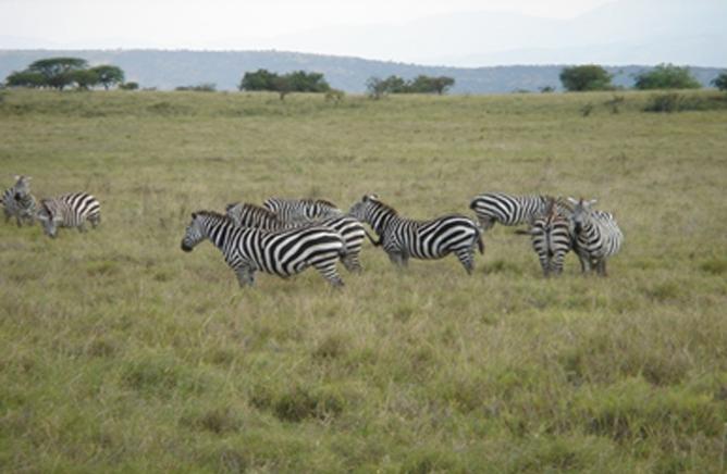 A Group of Burchels Zebra at Nech Sar National Park