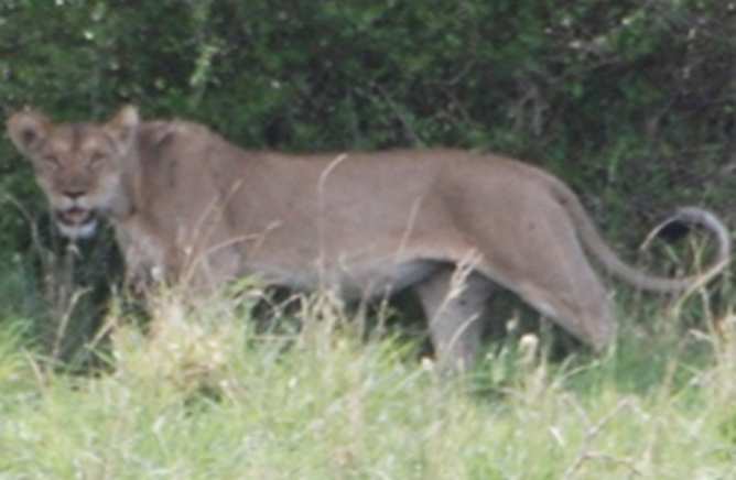 A Lion at the Mago National Park