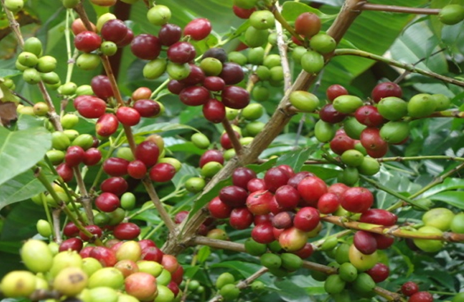 Coffee Forest