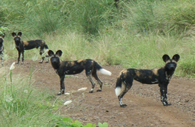 Wild Dogs in Mago National Park